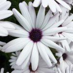 white flower with purple center